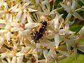 Larve eines Käfers auf der Hartriegel-Blüte.jpg