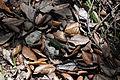 Lascar Small chamaleon (4460861908).jpg