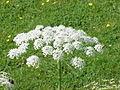 Laserpitium latifolium2.jpg