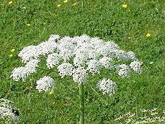 Bunga Majemuk Wikiwand