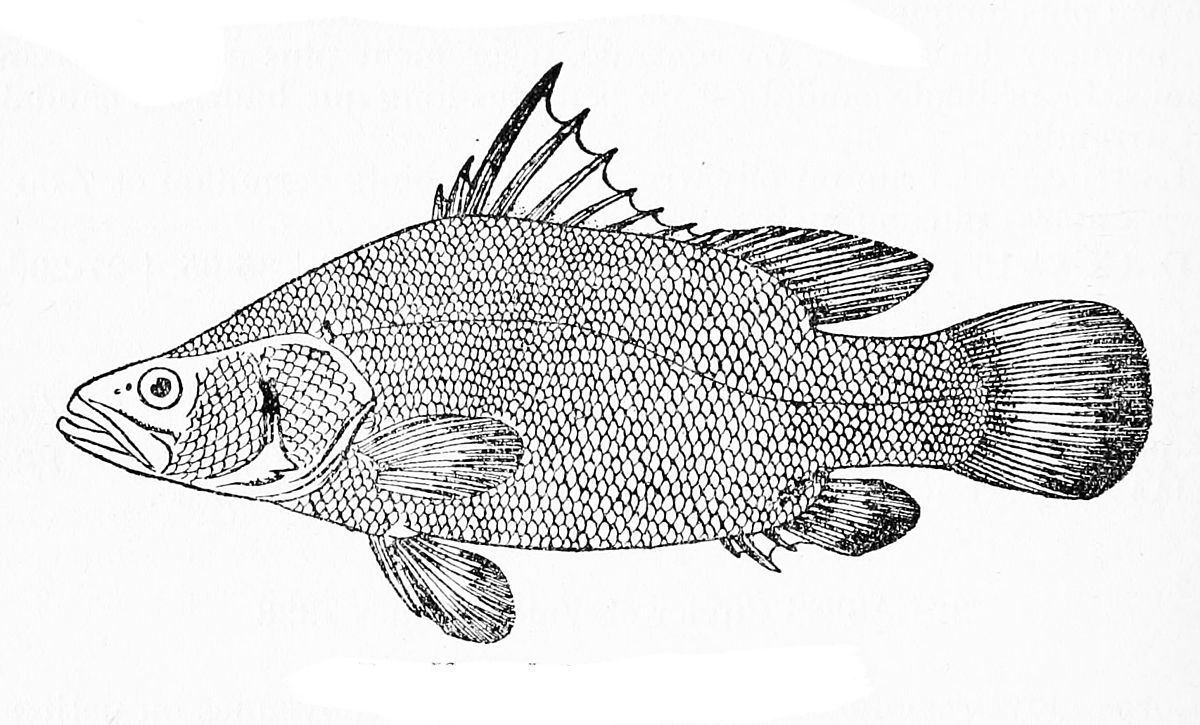 Nile perch - Wikipedia