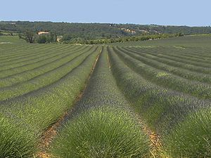 Field of lavender, Vaucluse, France