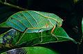 Leaf Katydid (Tettigoniidae) (13927516687).jpg
