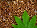Leaves in iran برگ گلها و گیاهان ایرانی 08.jpg