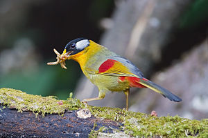 Silver-eared mesia - male (red rump)