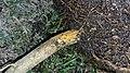 Lemon tree with phytophtora 02 - collar rot.jpg