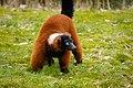 Lemur (25990201307).jpg