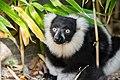 Lemur (26244968529).jpg