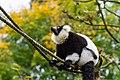 Lemur (26245229829).jpg
