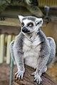 Lemur (36790213864).jpg