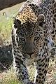 Leopard-002.jpg