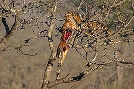 Leopardo (Panthera pardus) devorando un antílope, parque nacional Kruger, Sudáfrica, 2018-07-26, DD 07.jpg