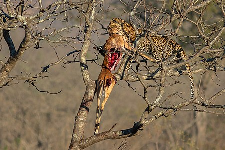 Leopard (Panthera pardus) devouring an antilope, Kruger National Park, South Africa.