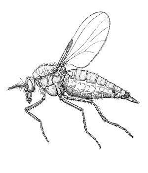Leptoconops spp. from CSIRO