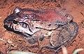 Leptodactylus labyrinthicus02.jpg