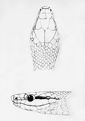 Description de l'image Leptophis modestus (Head).jpg.