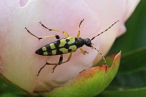 Rutpela maculata - Female