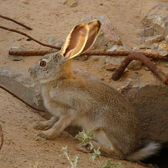 Tolai hare - Young Tolai hare
