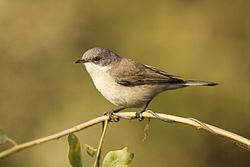 Lesser white throat David Raju.jpg