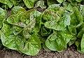 """Lettuce Mini Heads """"Australe"""" (7331118944).jpg"""