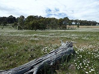 Leucanthemum vulgare - Image: Leucanthemum vulgare infestation