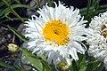 Leucanthemum x superbum Crazy Daisy 1zz.jpg