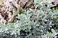 Leucophyllum frutescens 16zz.jpg