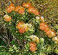 Leucospermum erubescens 2.jpg