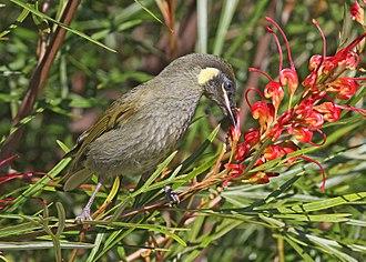 Lewin's honeyeater - Feeding on the nectar of a Grevillea flower