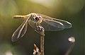 Libel·lula - Libelula - Dragonfly (4016329480).jpg