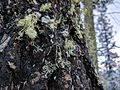 Lichen in cloudcroft on tree.jpg