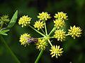 Liebstöckel (Levisticum officinale) mit Insekt Juni 2012.JPG