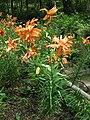 Lilium lancifolium 'Flore Pleno'3.jpg
