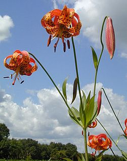 <i>Lilium michiganense</i> Species of lily