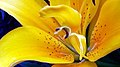 Lily Yellow 4 (220206743).jpeg