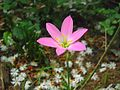 Lily flower rose.jpg