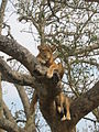 Lions in tree uganda Queen eliznp.jpg