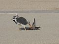 Lisbon Portugal 494 Dead bird (5108767192).jpg