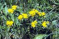 Lithospermum canescens.jpg