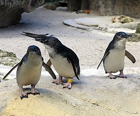 Little Penguin at Perth Zoo in Sept 05