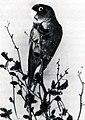Live captive Carolina parakeet.jpg