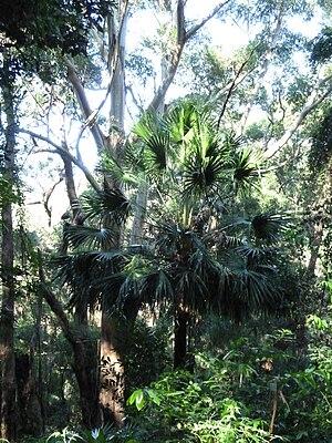Livistona australis - Image: Livistona RNP
