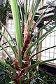Livistona chinensis 9zz.jpg