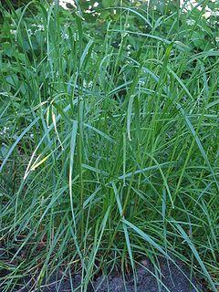 <i>Lolium perenne</i> species of plant