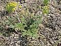 Lomatium foeniculaceum (4012652963).jpg