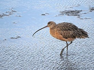Hayward Regional Shoreline - Long-billed curlew