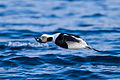 Long-tailed Duck (Clangula hyemalis) (13667924694).jpg