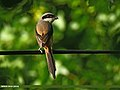 Long-tailed Shrike (Lanius schach) (31354842084).jpg