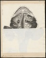 Lophius piscatorius - 1700-1880 - Print - Iconographia Zoologica - Special Collections University of Amsterdam - UBA01 IZ13600181.tif