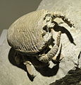 Lophoranina mariestiana, mole crab, Eocene, Cava Main, Arezignano, Italy - Houston Museum of Natural Science - DSC01974.JPG